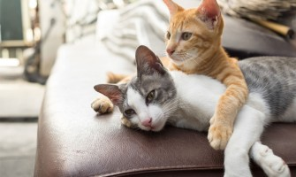 Spoznavanje dveh mačk